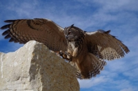 Fall Flights at World Center for Birds of Prey