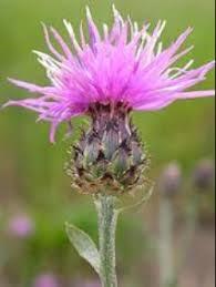Noxious Weeds-Understanding & Managing Invasives
