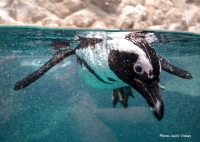 African Penguin Conservation Day