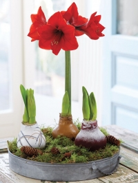 Waxed Amaryllis Bulbs Workshop