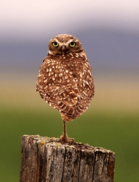 Owls of Montana