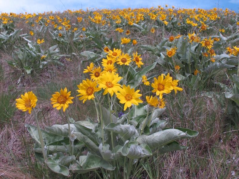 Western Montana's Grassland Wildflowers