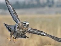 Wintering Raptors Field trip