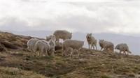 IWFF: Arctic Wolf Pack & Fox Tales
