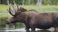 Colorado's Moose