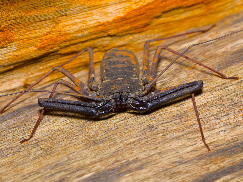 Online Bug Encounters: Tailless Whip Scorpions