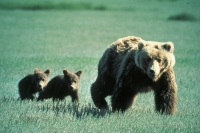 Grizzly Bear Aweness Meeting